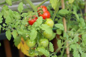 つくばの庭付き一戸建てで家庭菜園