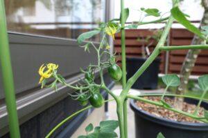 つくばで納得の家づくりをするベースポイントのお庭のトマト写真