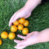 黄色のトマトとひまわり
