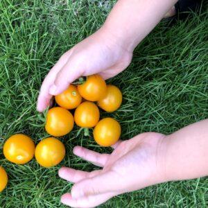茨城県で新築を手掛けるベースポイントの黄色いトマト写真